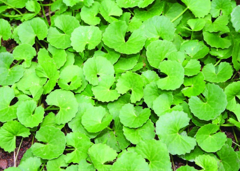 Centella Asiatica: all the properties and health benefits. Improves venous circulation and fights cellulite (photo)